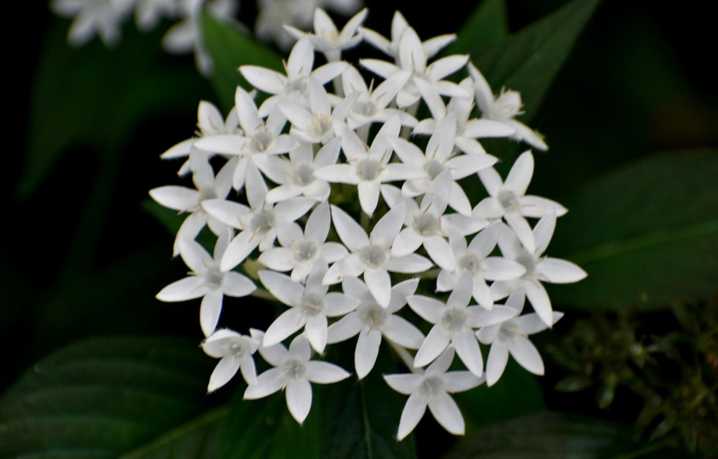 白花繁星花_图1-6