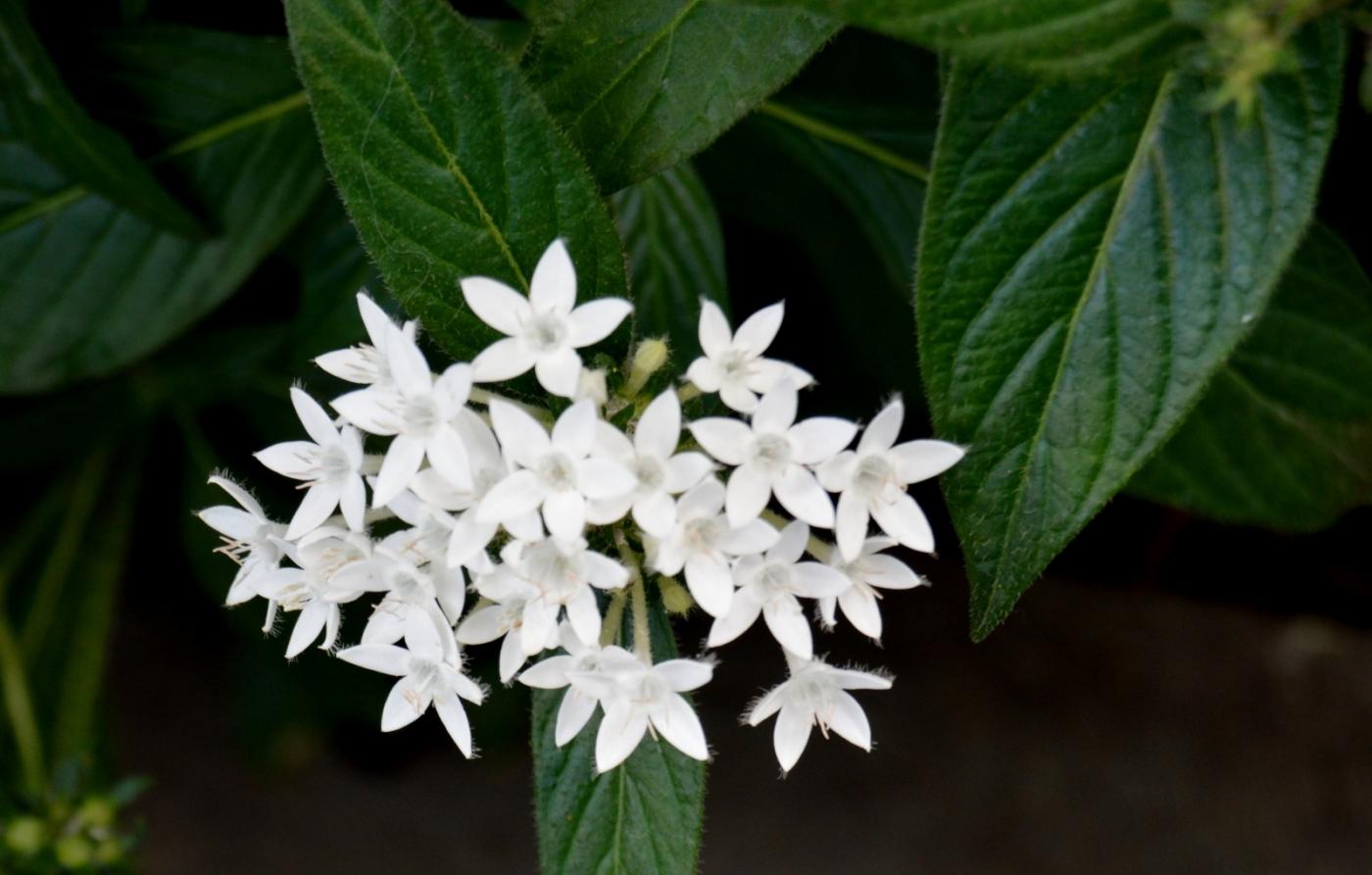 白花繁星花_图1-8