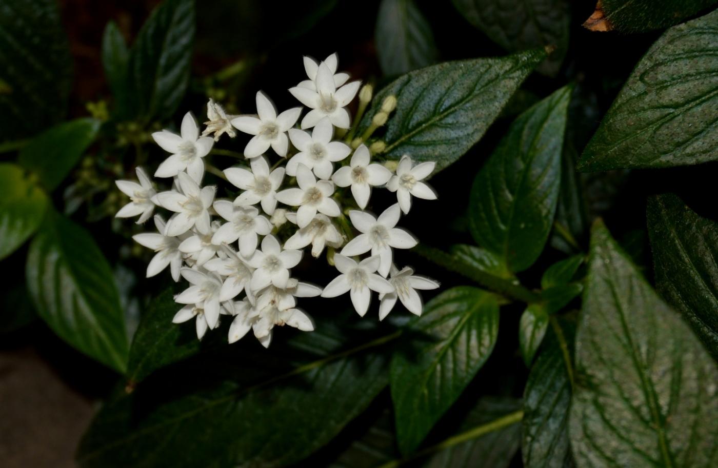 白花繁星花_图1-11