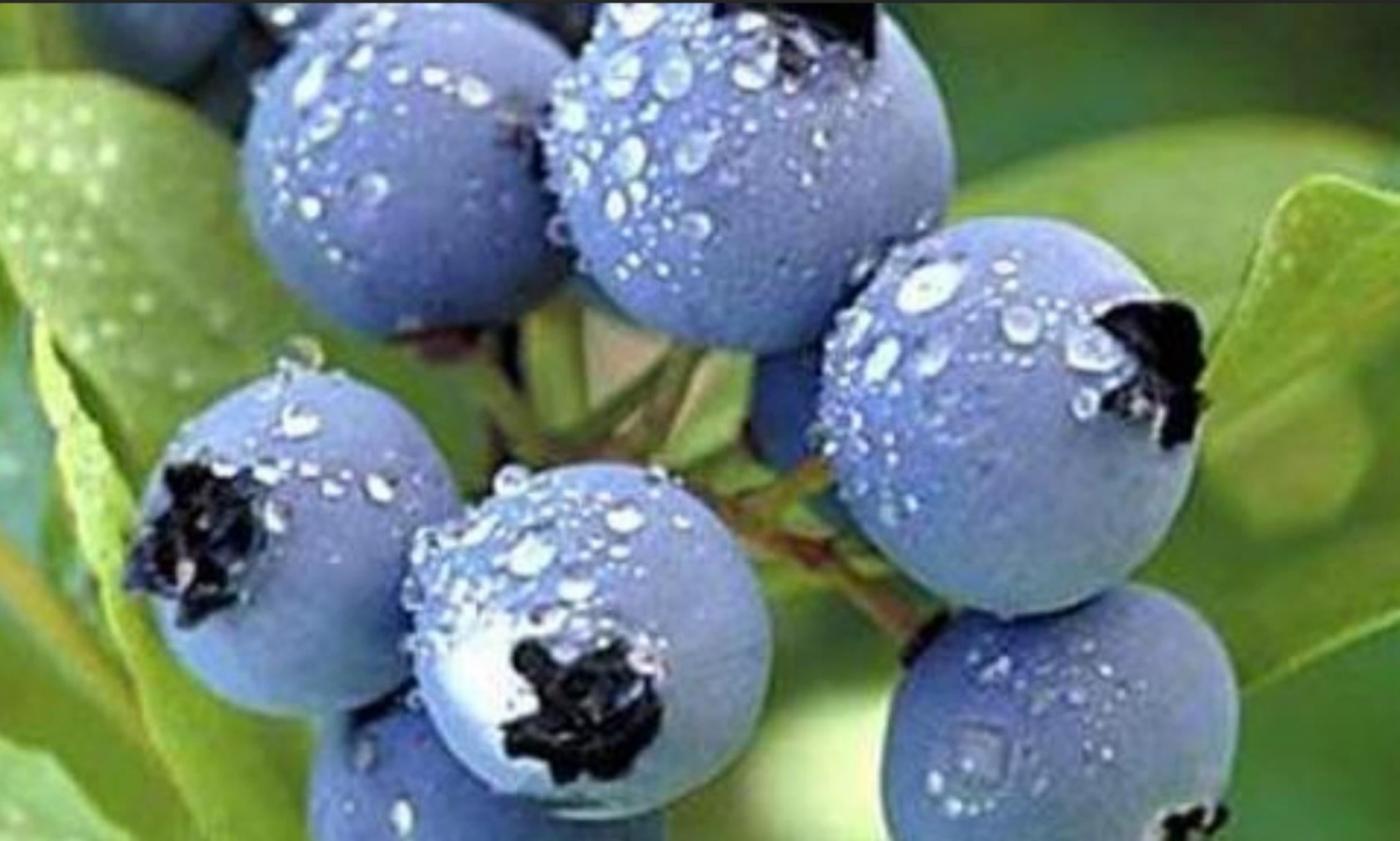 蓝莓盛宴_图1-3