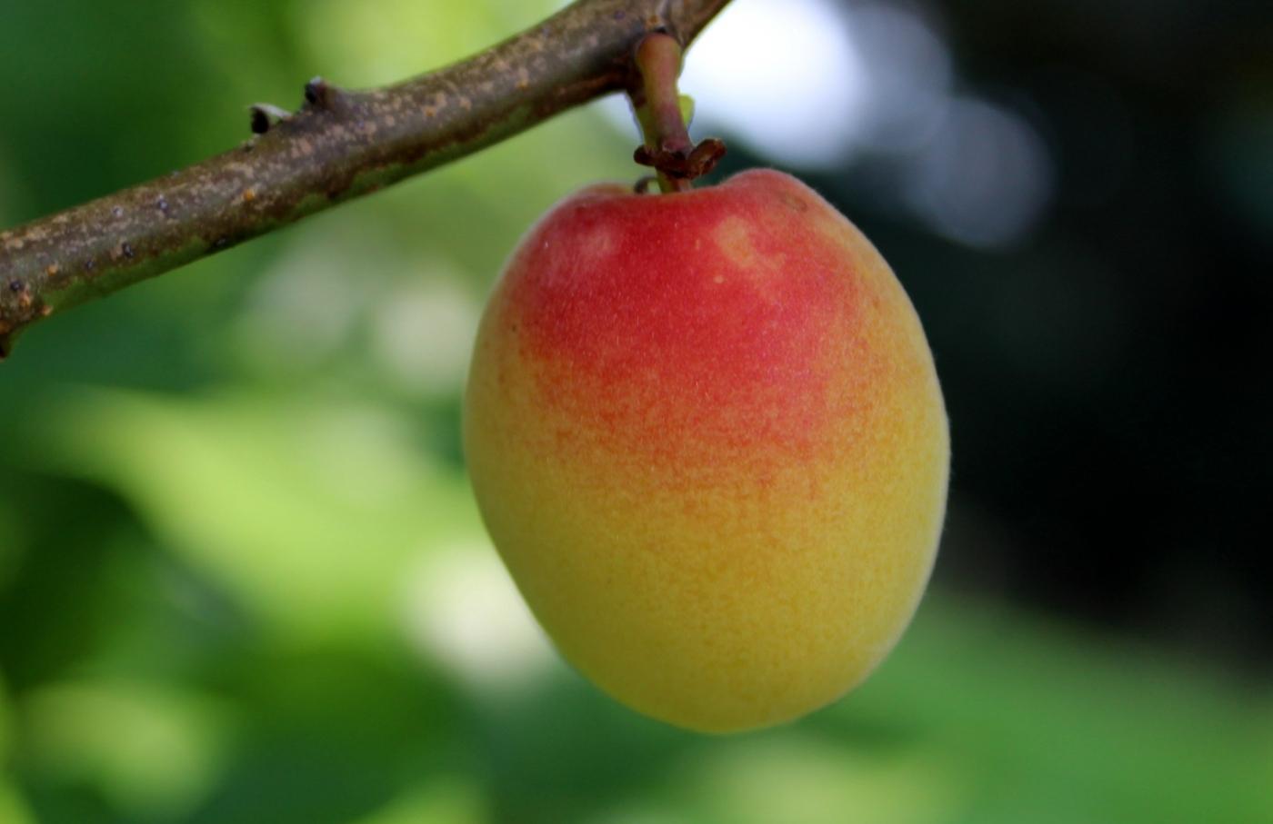 梅花的果实_图1-1