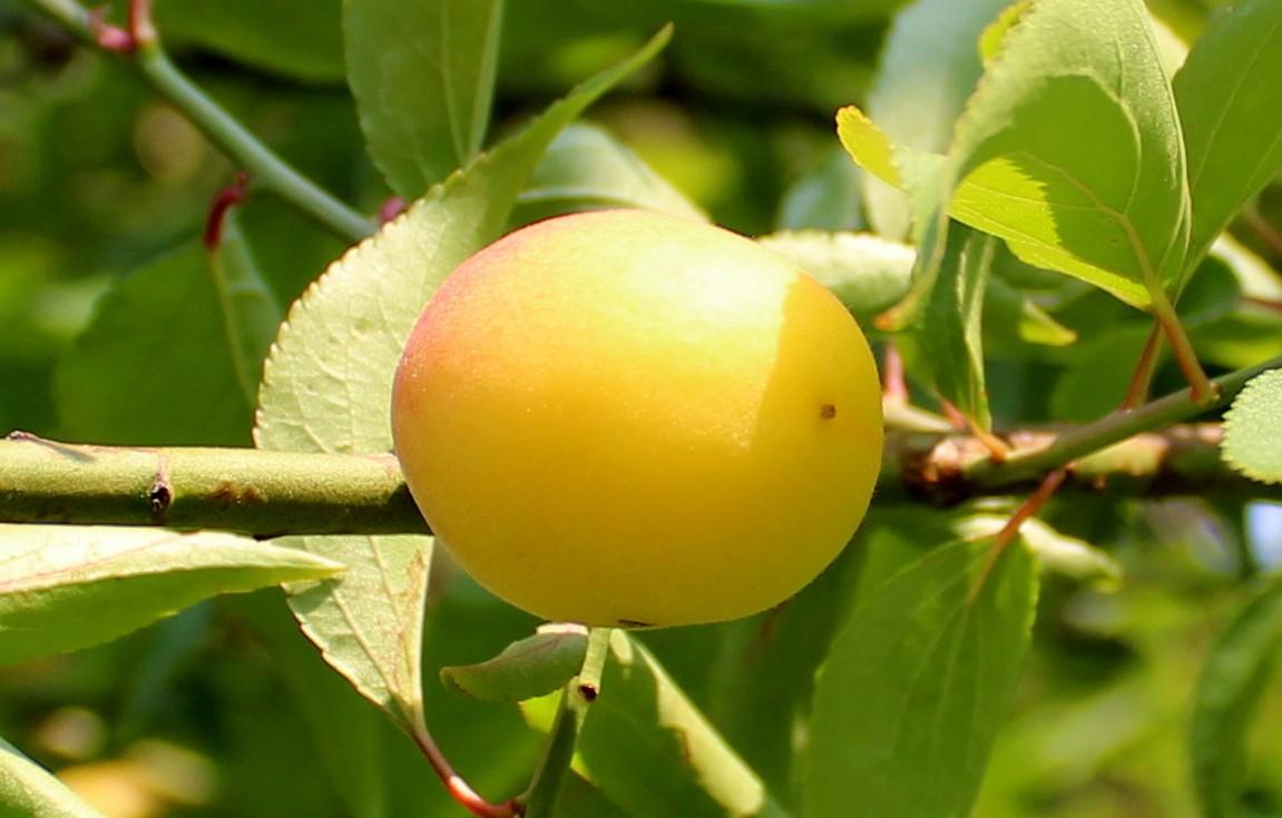 梅花的果实_图1-2