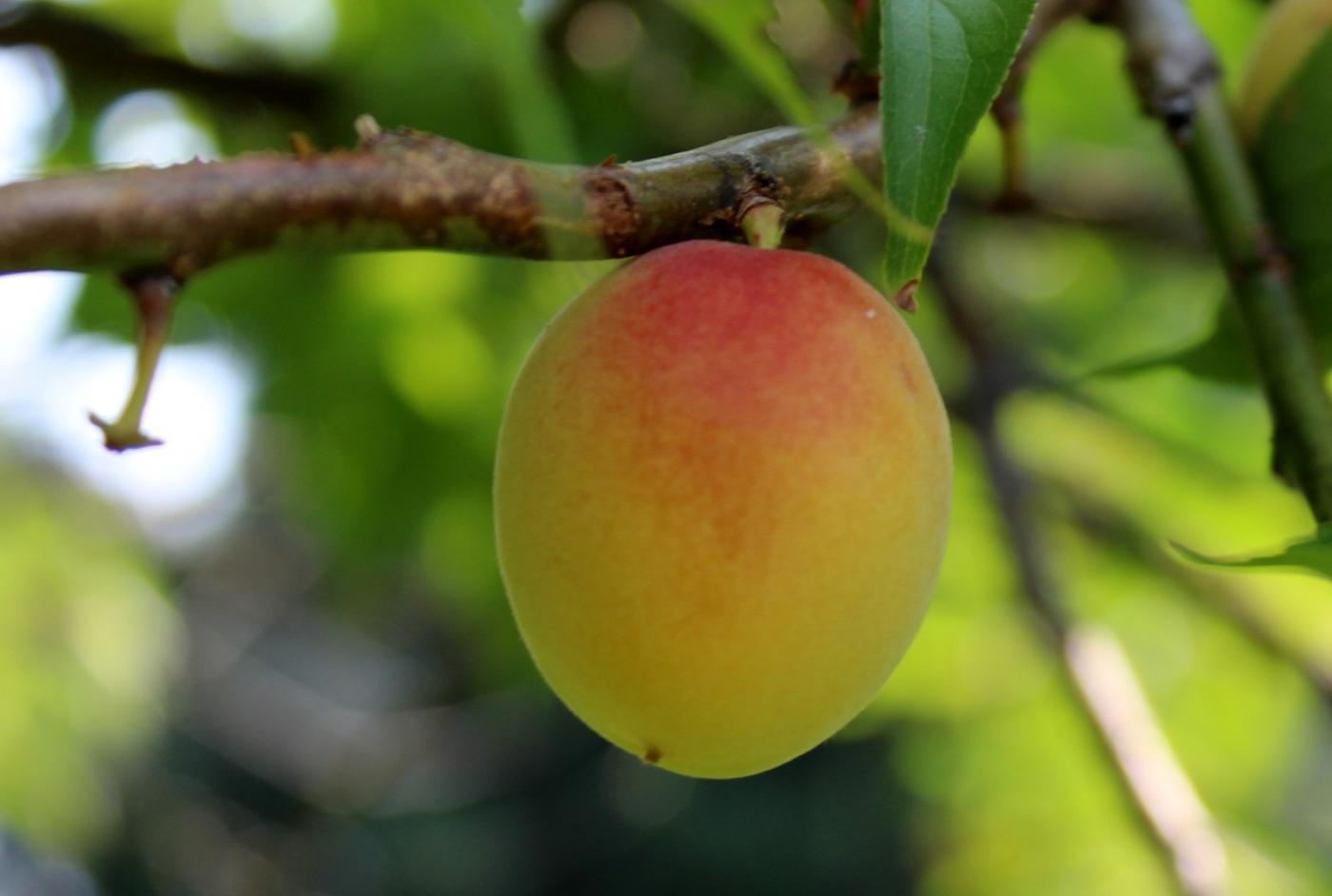 梅花的果实_图1-4