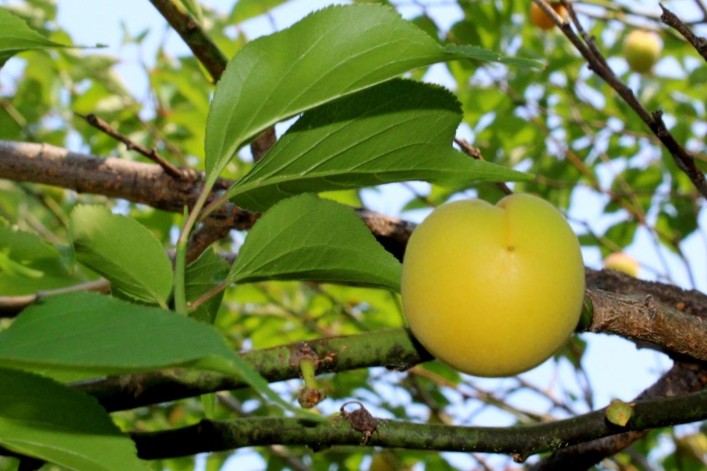 梅花的果实_图1-5
