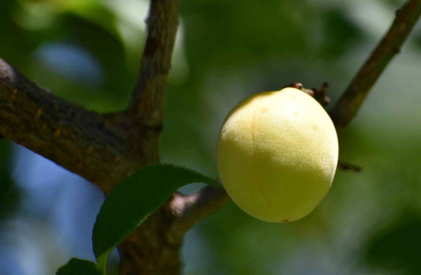 梅花的果实_图1-7