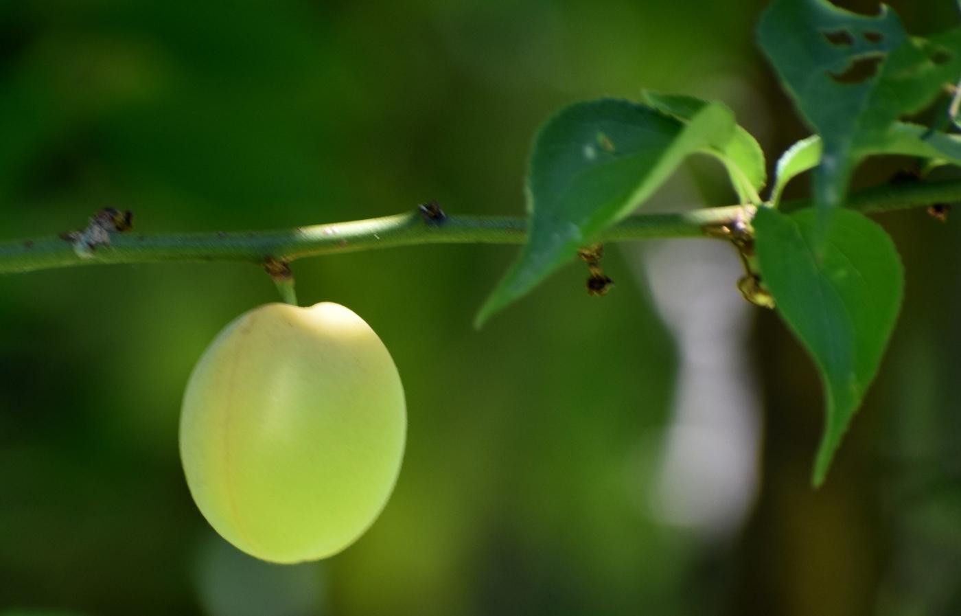 梅花的果实_图1-8