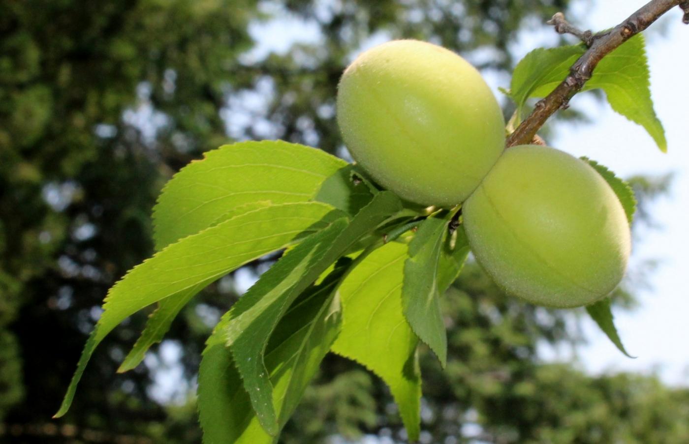 梅花的果实_图1-9