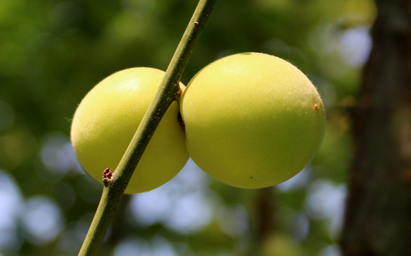 梅花的果实_图1-10