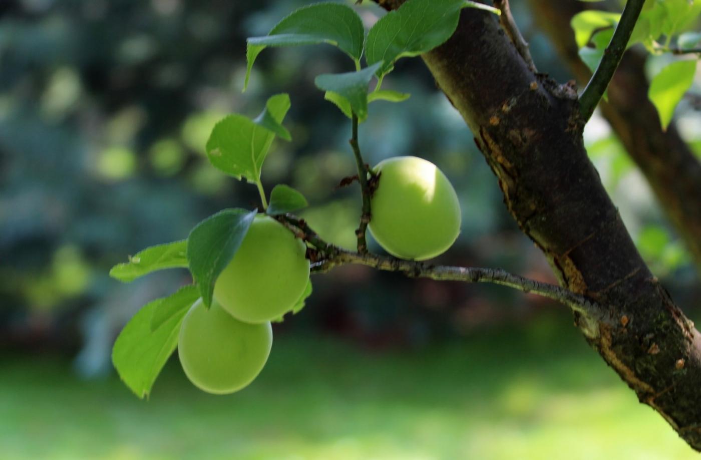 梅花的果实_图1-12