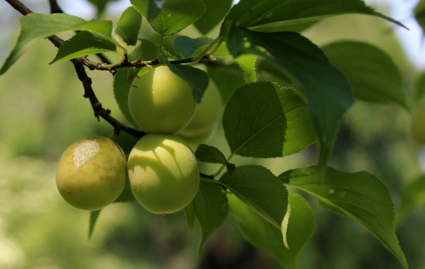 梅花的果实_图1-13