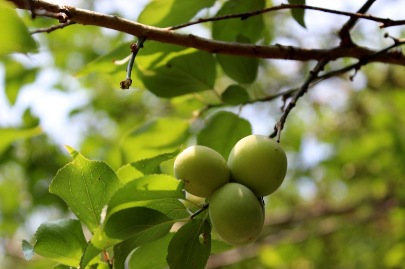 梅花的果实_图1-15