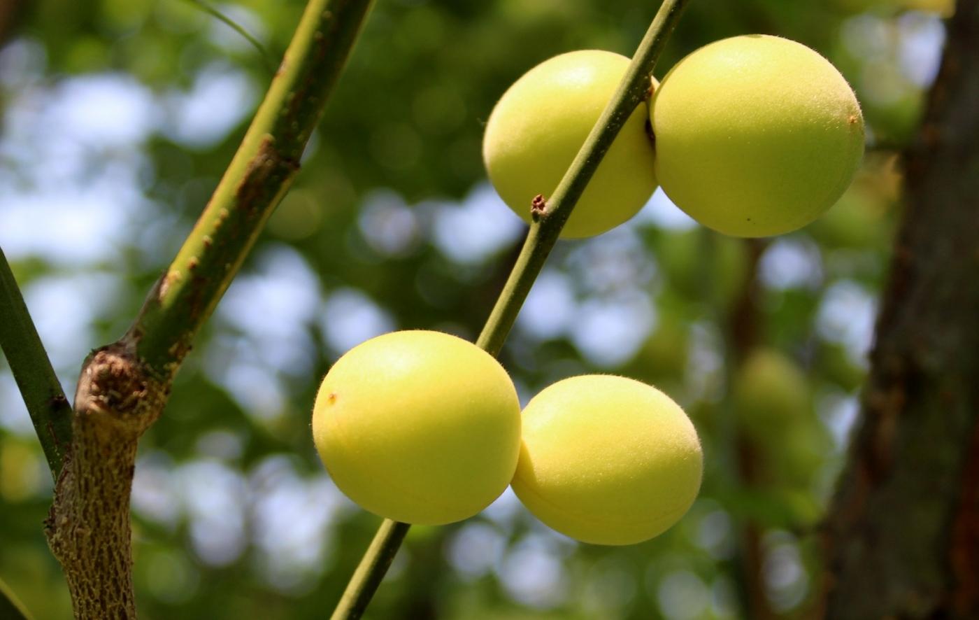 梅花的果实_图1-17