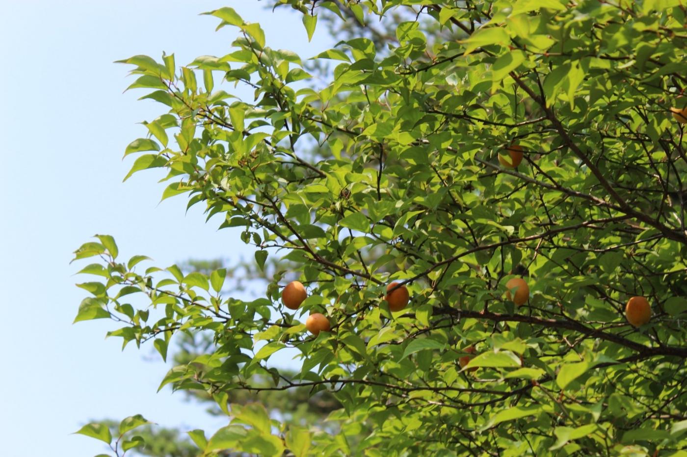 梅花的果实_图1-22