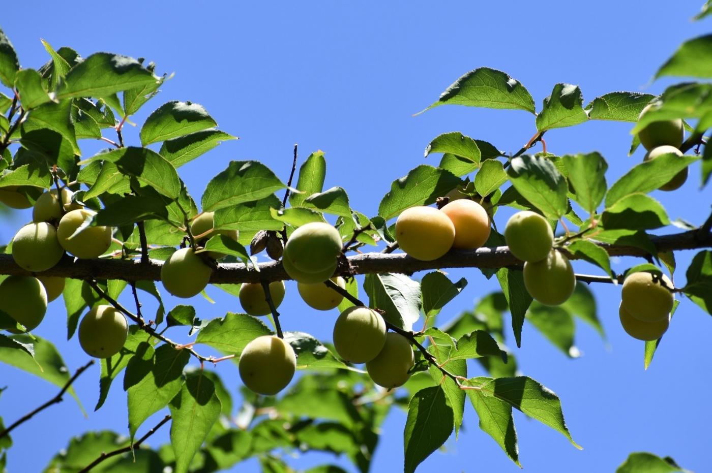 梅花的果实_图1-23
