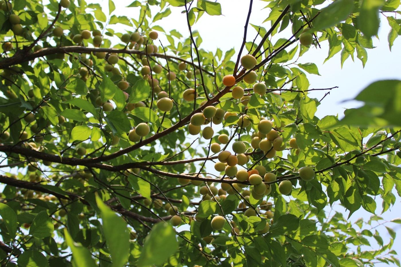 梅花的果实_图1-25