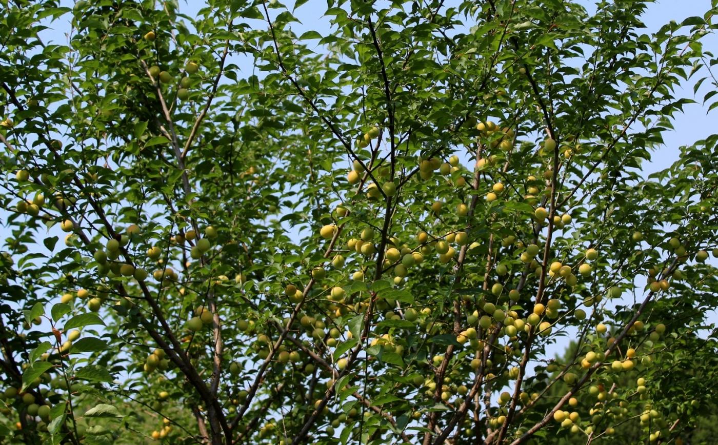 梅花的果实_图1-26