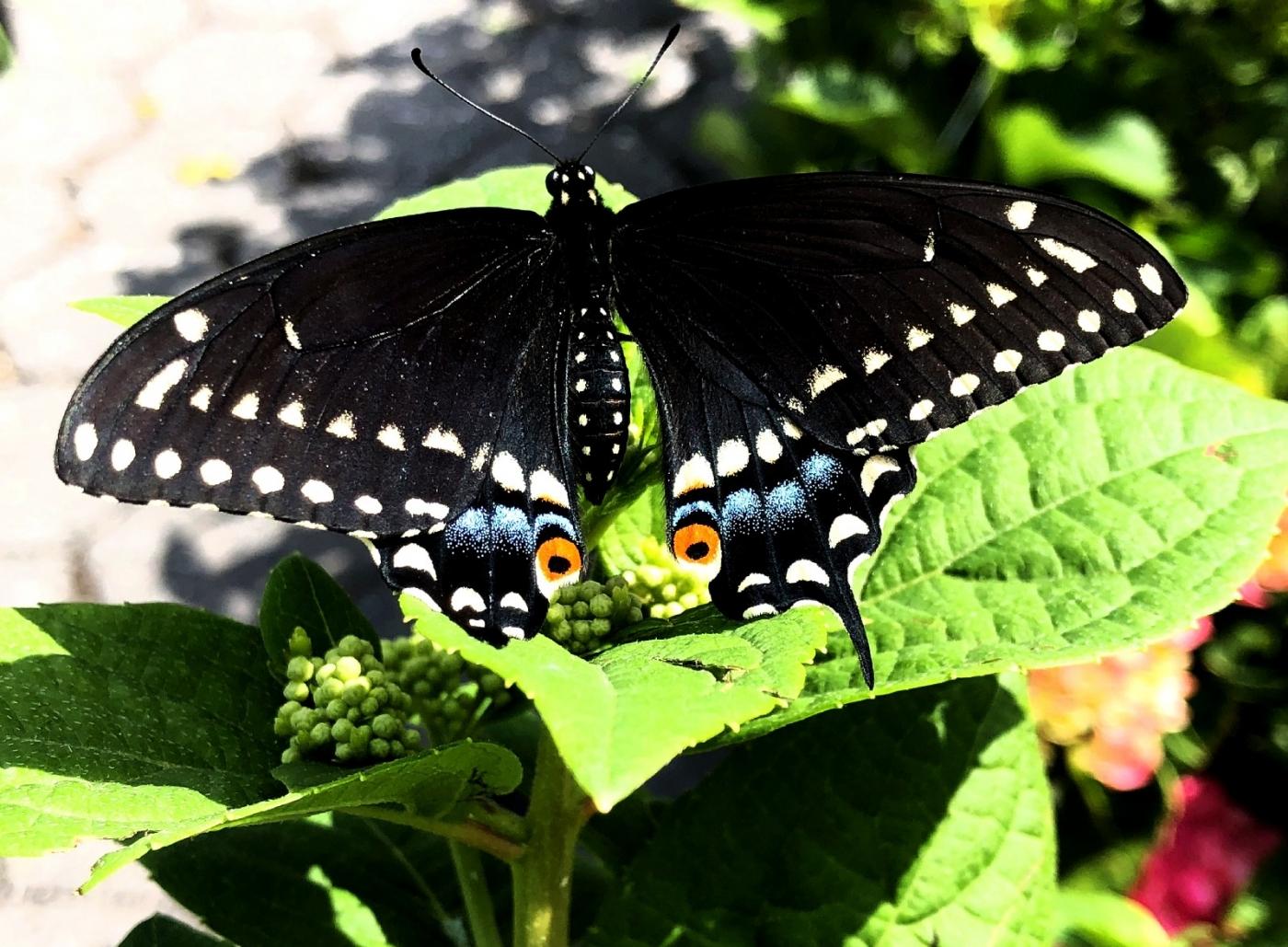 【田螺随拍】我种了马鞭草蝴蝶就来了_图1-3