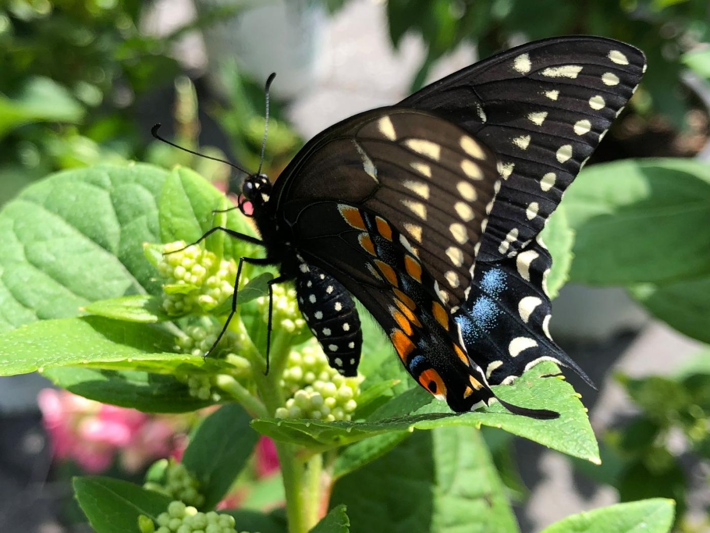 【田螺随拍】我种了马鞭草蝴蝶就来了_图1-2