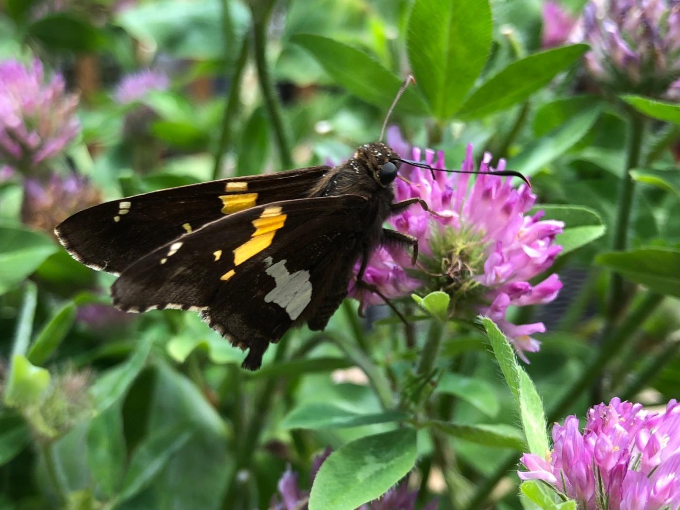 【田螺随拍】我种了马鞭草蝴蝶就来了_图1-4