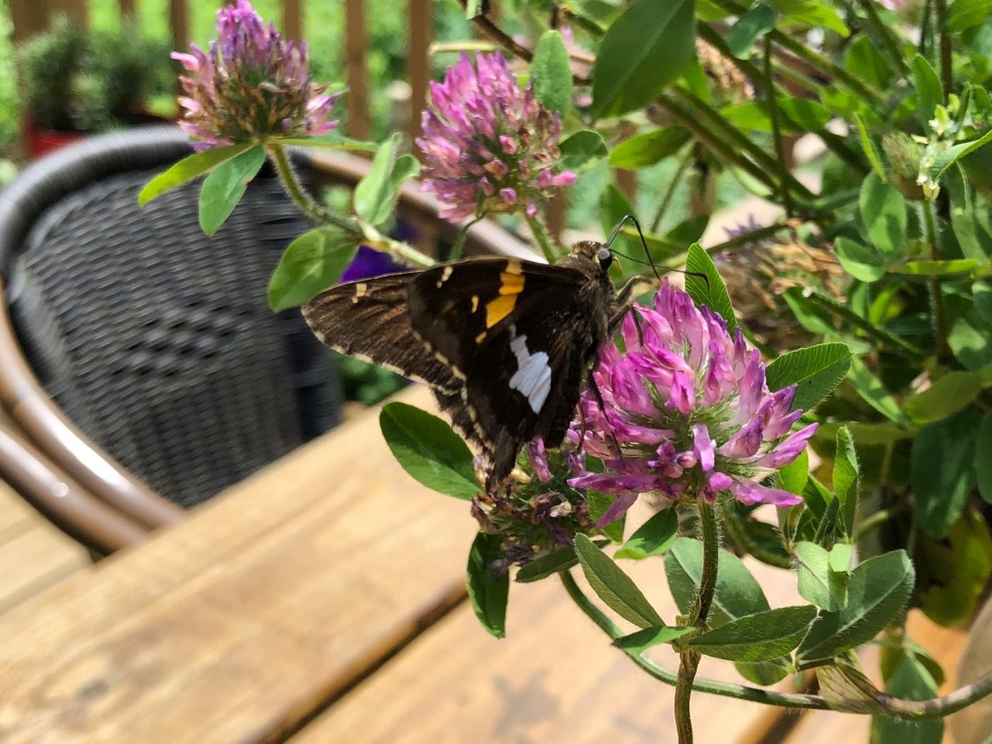 【田螺随拍】我种了马鞭草蝴蝶就来了_图1-5