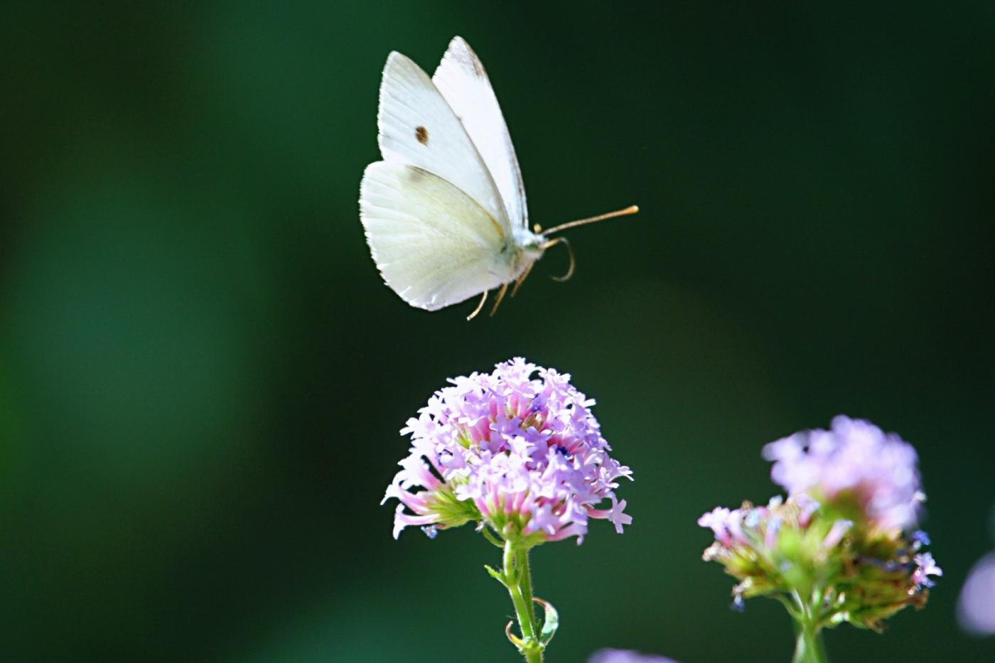 【田螺随拍】我种了马鞭草蝴蝶就来了_图1-6