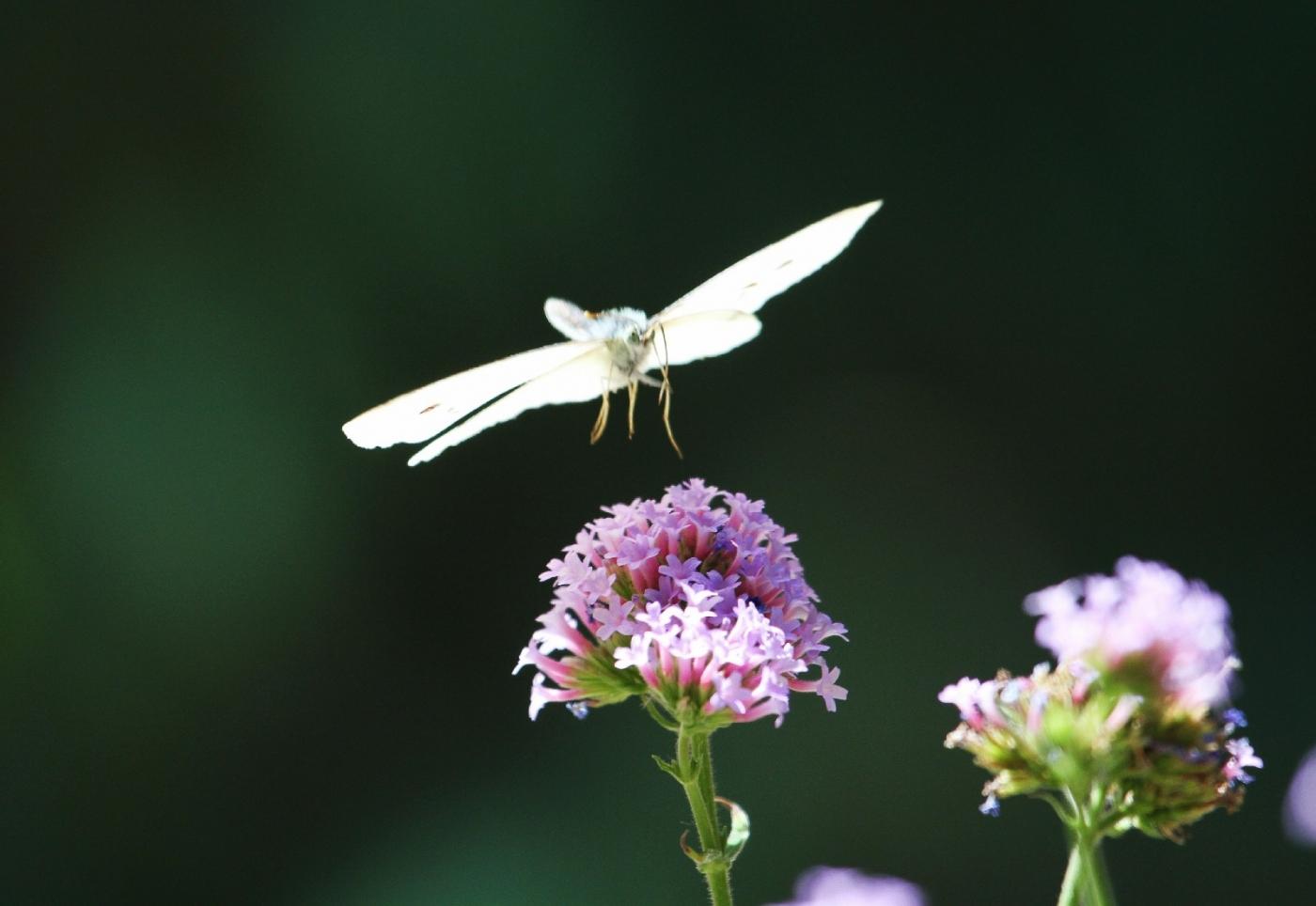 【田螺随拍】我种了马鞭草蝴蝶就来了_图1-7