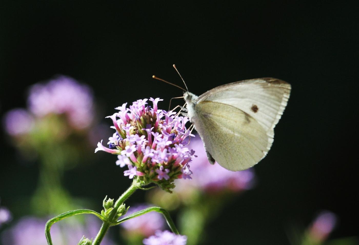 【田螺随拍】我种了马鞭草蝴蝶就来了_图1-8