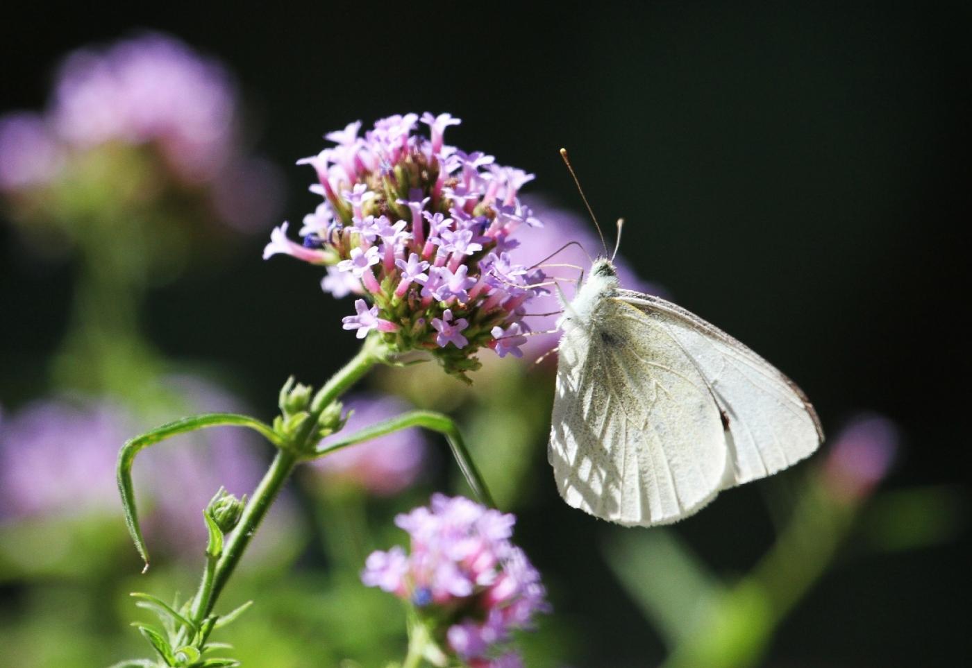 【田螺随拍】我种了马鞭草蝴蝶就来了_图1-9