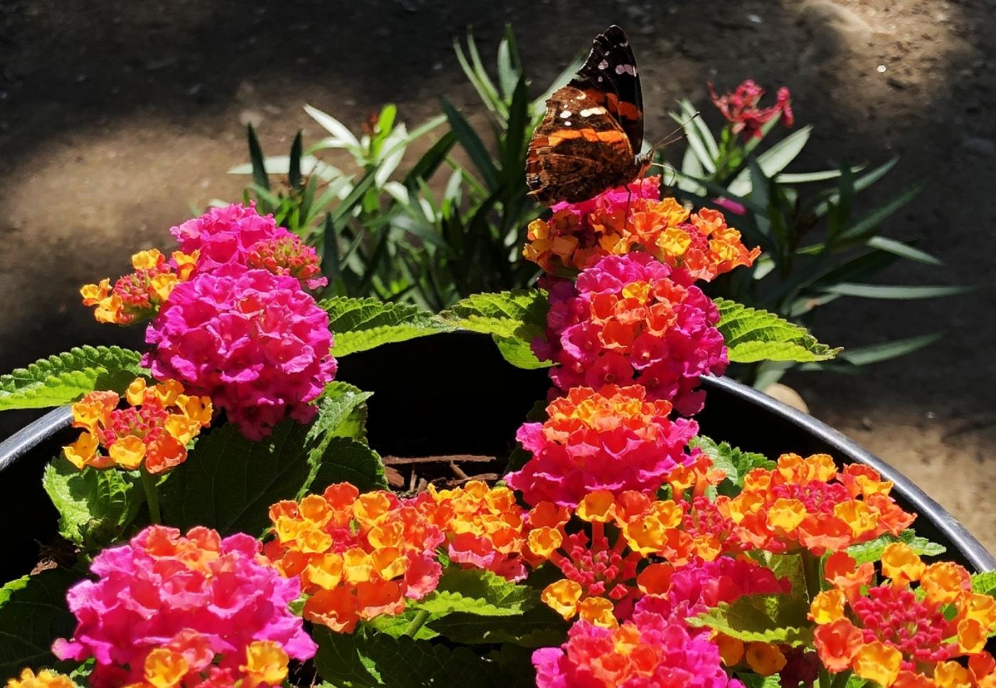【田螺随拍】我种了马鞭草蝴蝶就来了_图1-10