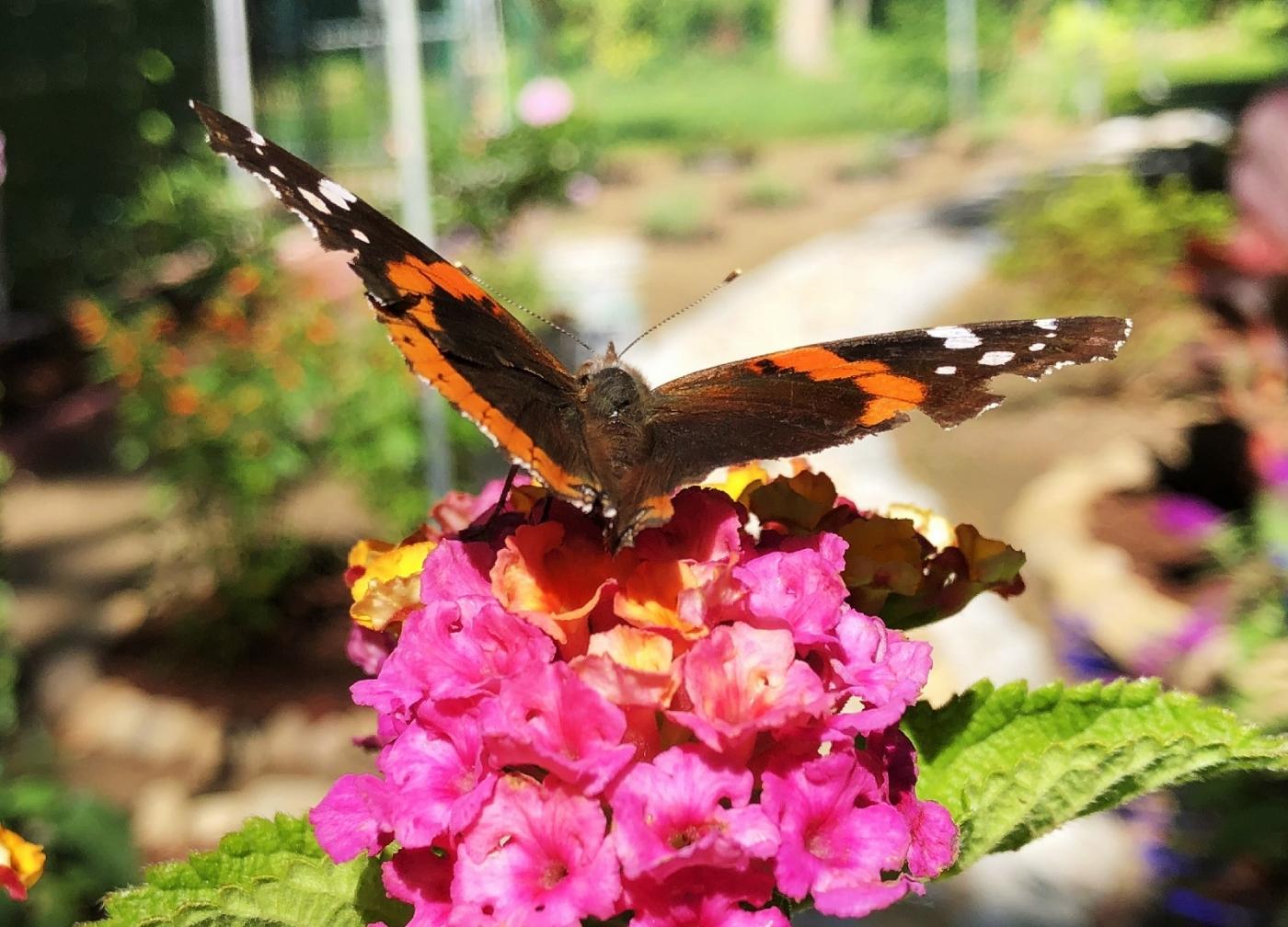【田螺随拍】我种了马鞭草蝴蝶就来了_图1-11