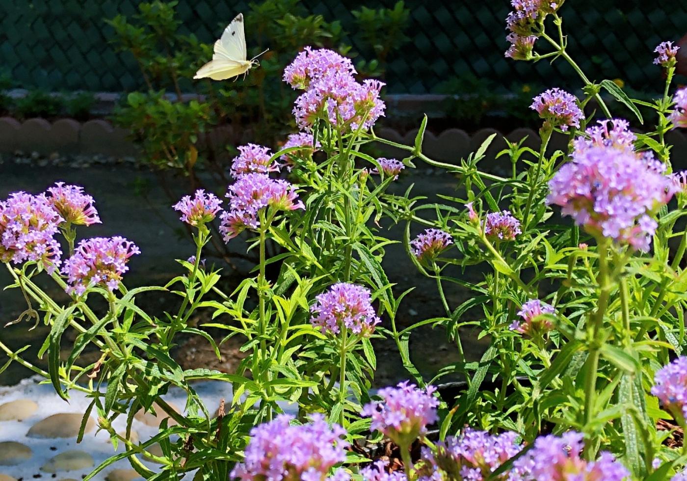 【田螺随拍】我种了马鞭草蝴蝶就来了_图1-13