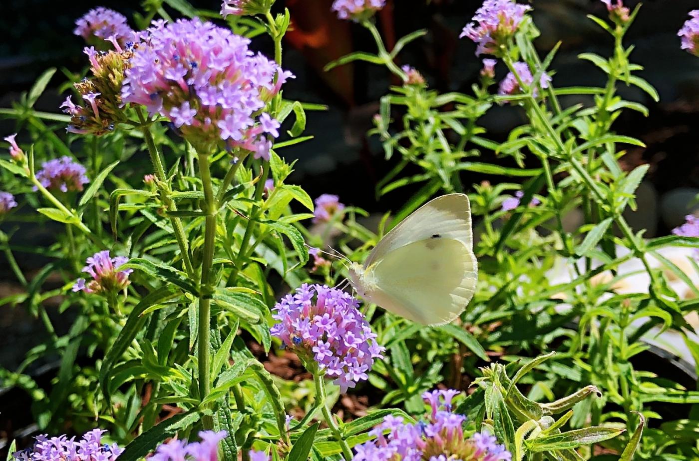 【田螺随拍】我种了马鞭草蝴蝶就来了_图1-14