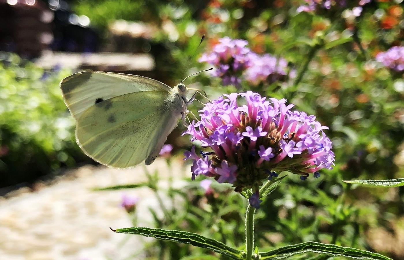 【田螺随拍】我种了马鞭草蝴蝶就来了_图1-15