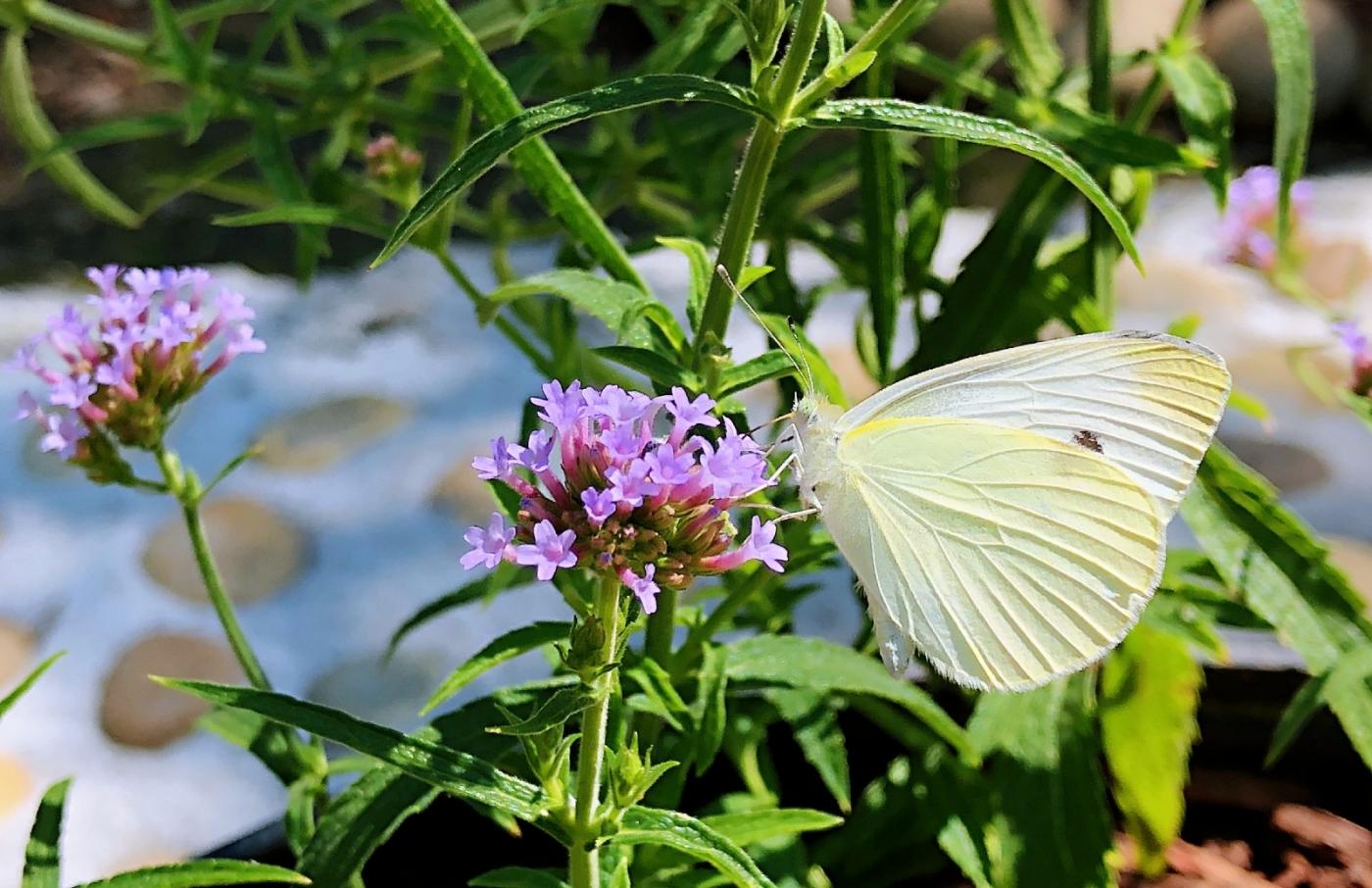 【田螺随拍】我种了马鞭草蝴蝶就来了_图1-17