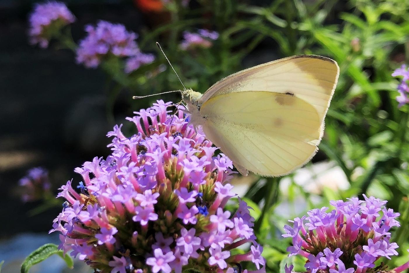 【田螺随拍】我种了马鞭草蝴蝶就来了_图1-16