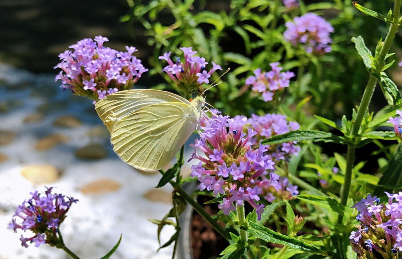 【田螺随拍】我种了马鞭草蝴蝶就来了_图1-18