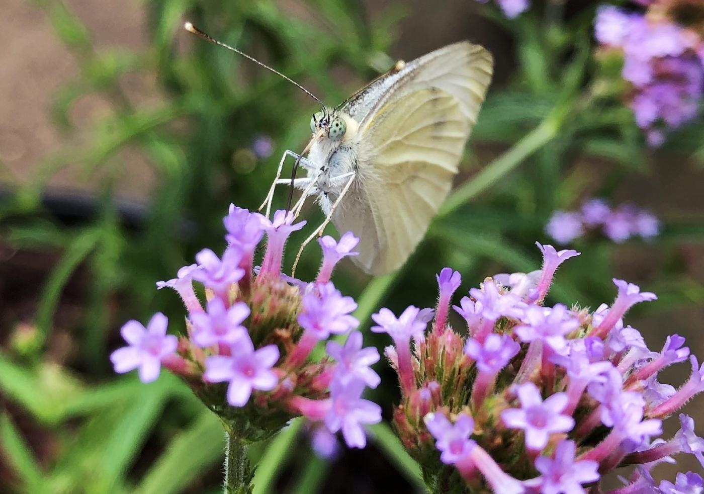 【田螺随拍】我种了马鞭草蝴蝶就来了_图1-20