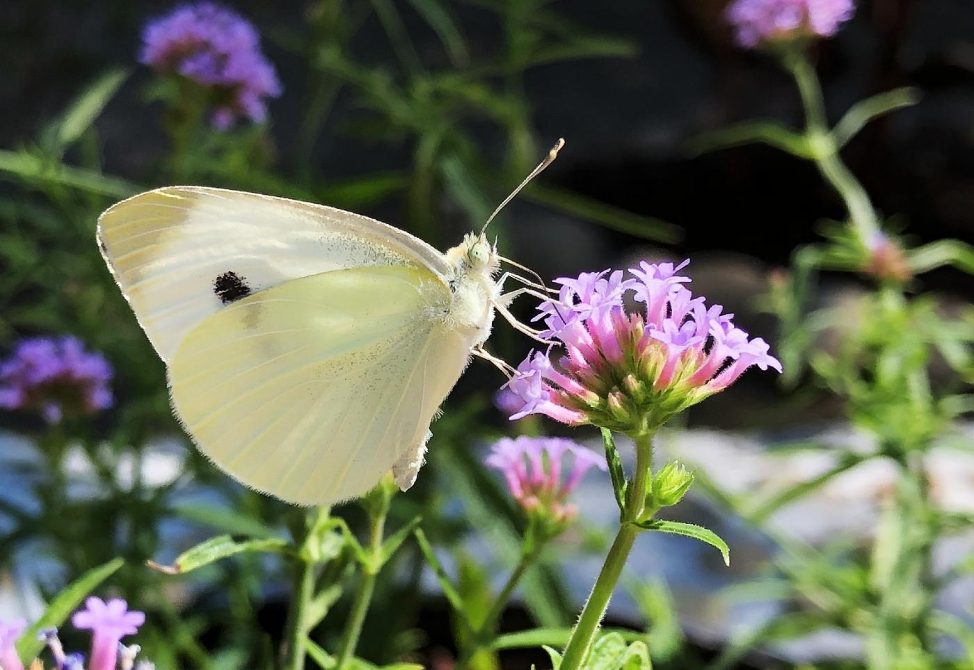 【田螺随拍】我种了马鞭草蝴蝶就来了_图1-19