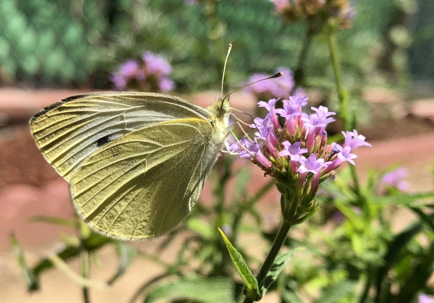 【田螺随拍】我种了马鞭草蝴蝶就来了_图1-21