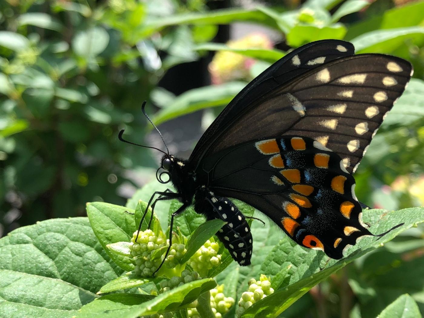 【田螺随拍】我种了马鞭草蝴蝶就来了_图1-1
