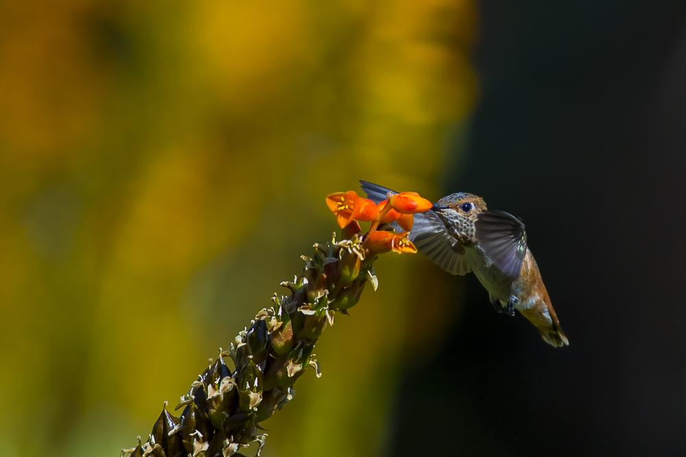 蜂鸟_图1-4