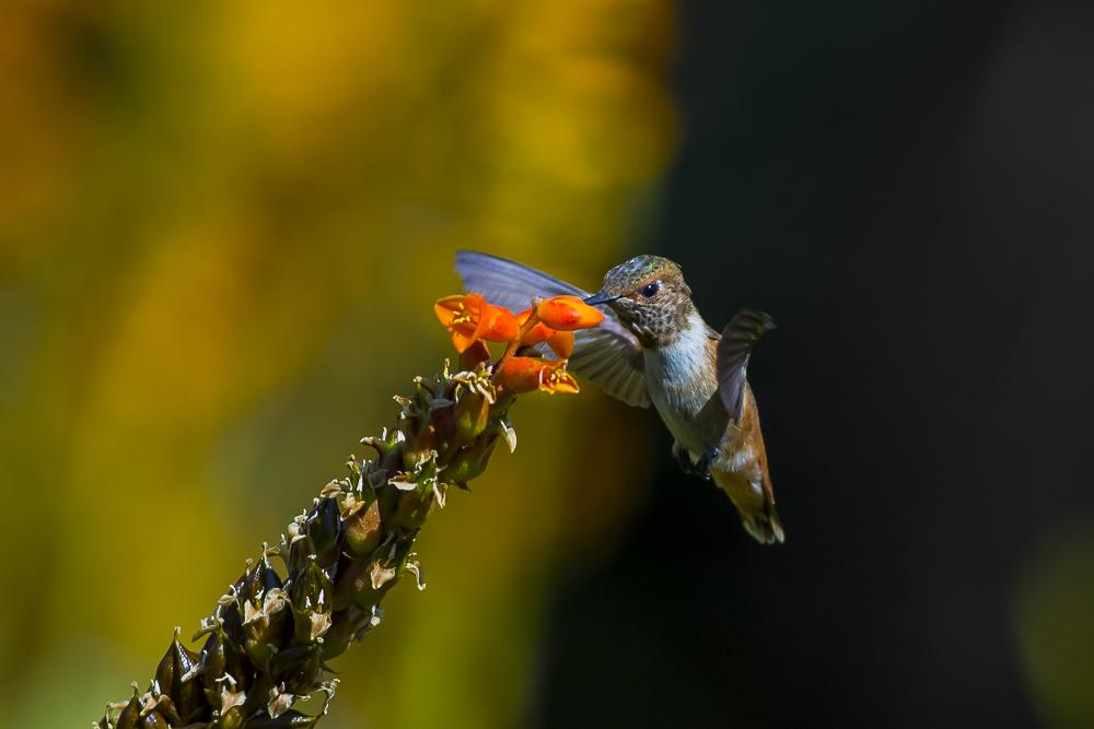 蜂鸟_图1-5