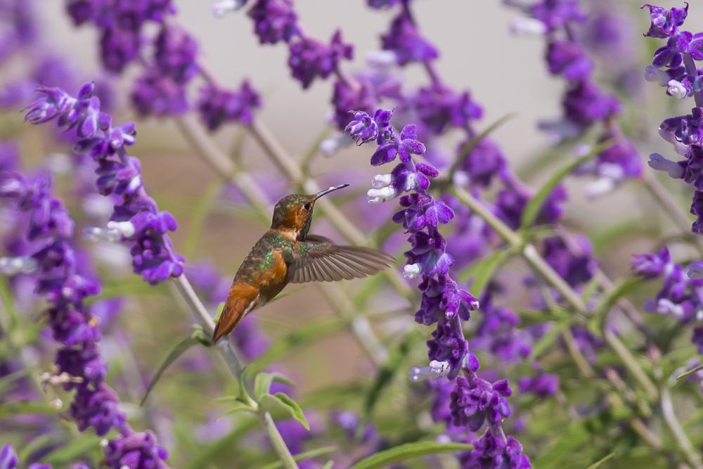 蜂鸟_图1-14