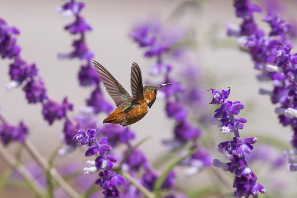 蜂鸟_图1-15