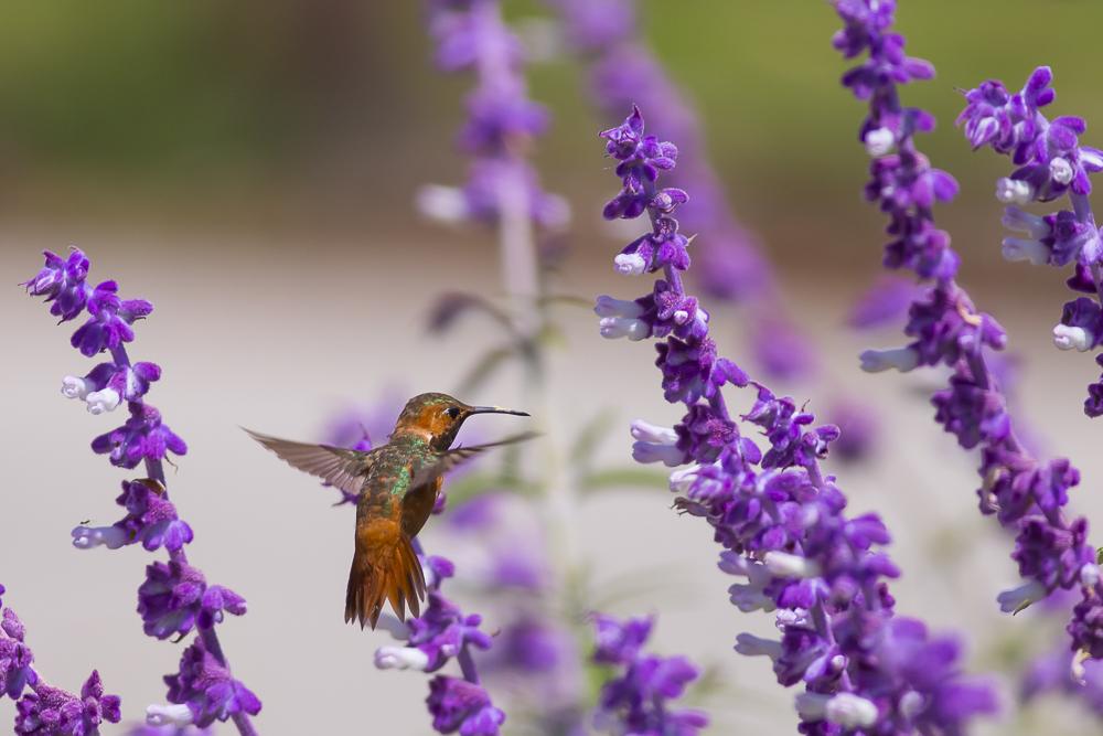 蜂鸟_图1-16
