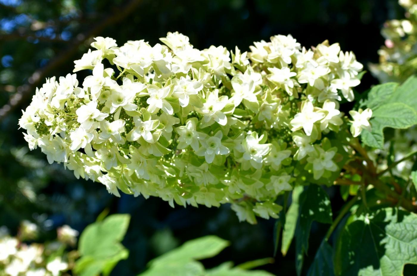 櫟葉繡球花_圖1-3