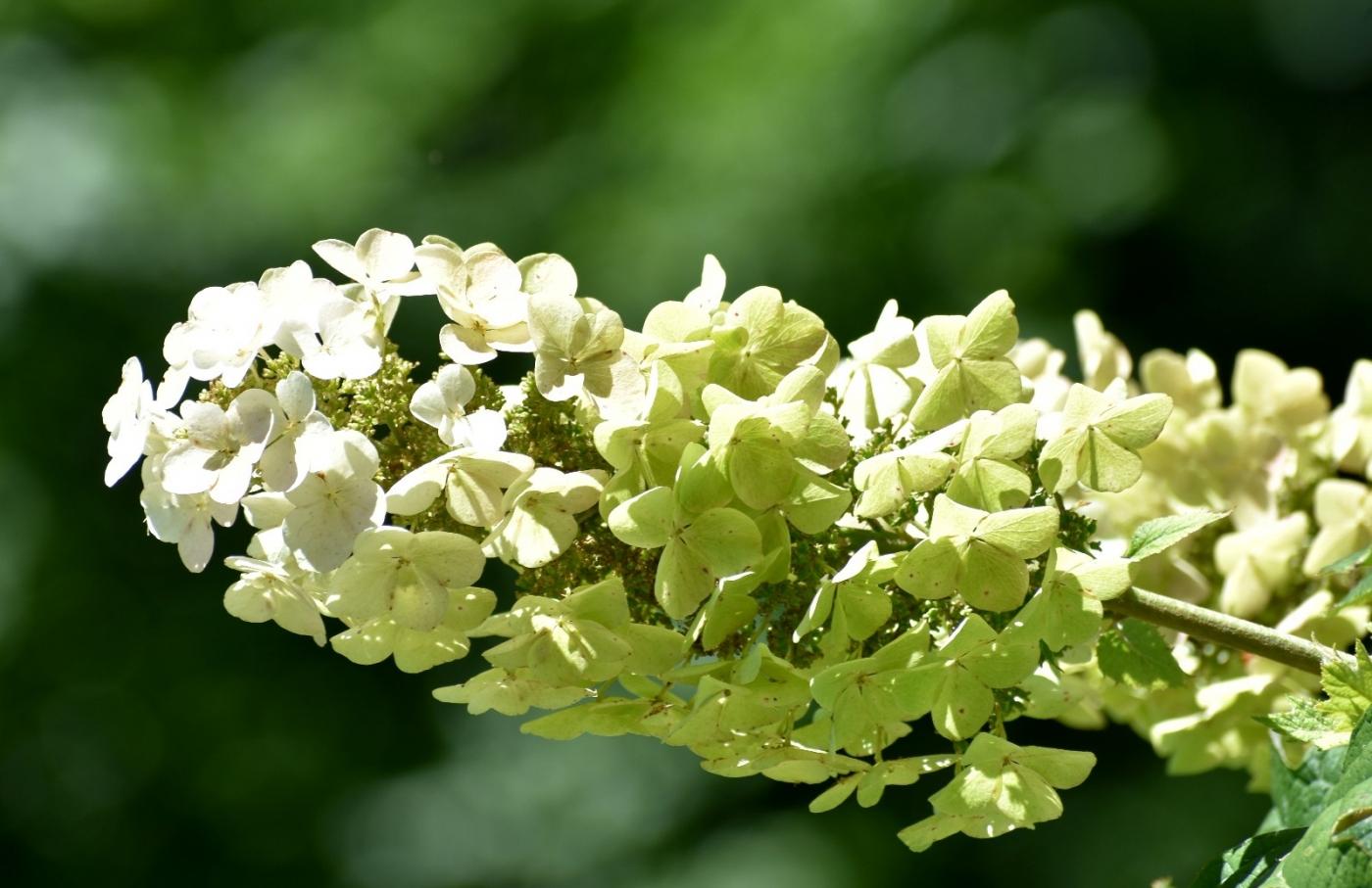 櫟葉繡球花_圖1-8
