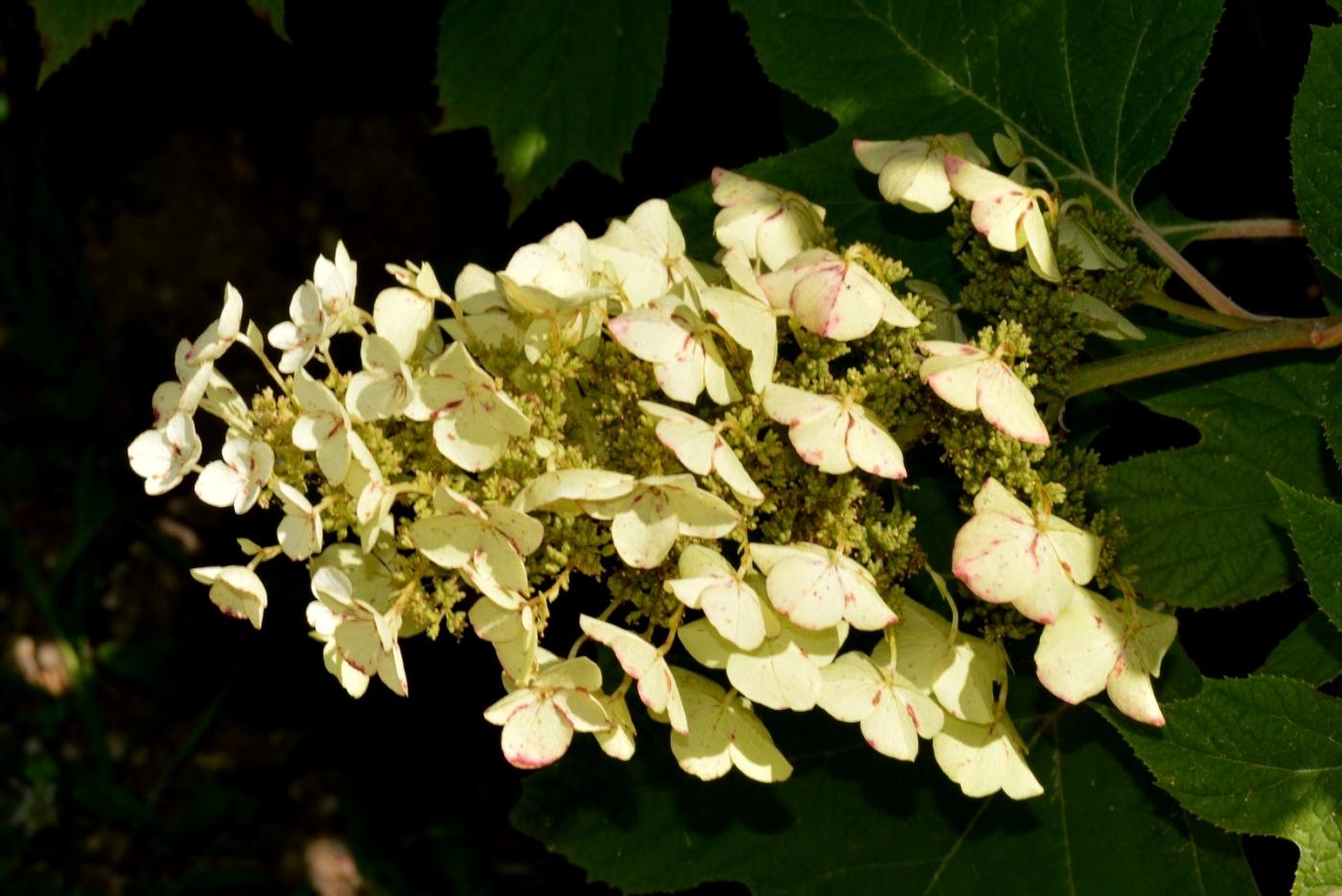 櫟葉繡球花_圖1-11
