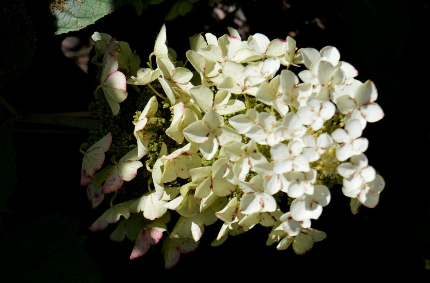 櫟葉繡球花_圖1-12