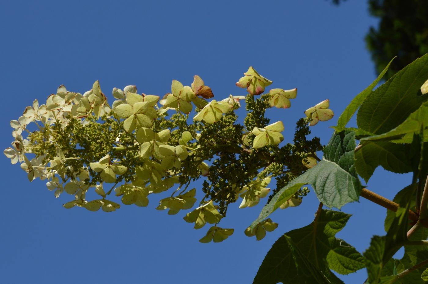 栎叶绣球花_图1-13